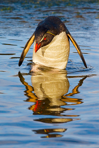 BRD 05 KH0139 01 © Kimball Stock Rockhopper Penguin Bathing In Natural Pool