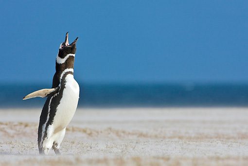 BRD 05 KH0148 01 © Kimball Stock Magellanic Penguin Calling Out In Sand Dunes Falkland Islands