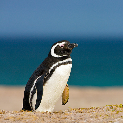 BRD 05 KH0149 01 © Kimball Stock Magellanic Penguin Walking On Sand Dunes Near Burrow Falkland Islands