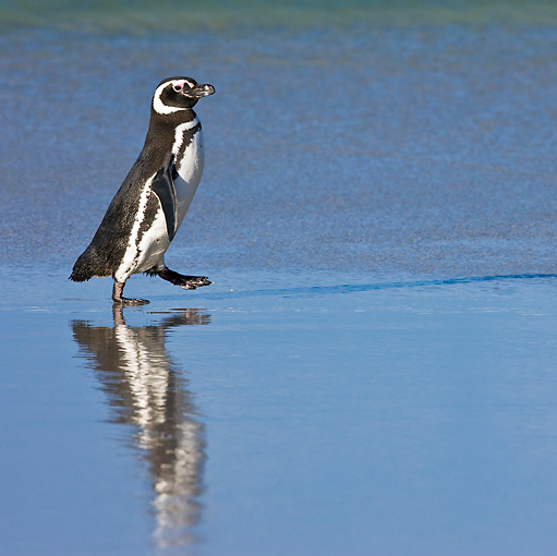 BRD 05 KH0151 01 © Kimball Stock Magellanic Penguin Walking On Beach Falkland Islands