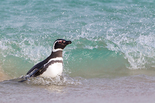 BRD 05 KH0153 01 © Kimball Stock Magellanic Penguin Swimming Up On Shore Falkland Islands