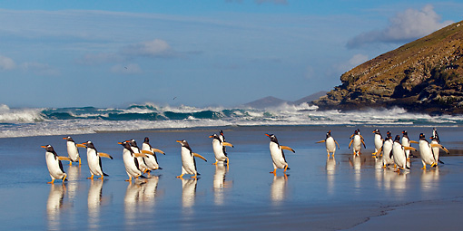BRD 05 KH0155 01 © Kimball Stock Group Of Gentoo Penguins Walking On Beach Falkland Islands