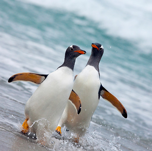 BRD 05 KH0166 01 © Kimball Stock Two Gentoo Penguins Walking Out Of Ocean Falkland Islands