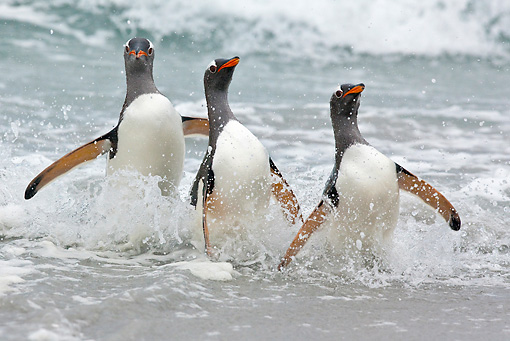 BRD 05 KH0167 01 © Kimball Stock Three Gentoo Penguins Walking Out Of Ocean Falkland Islands