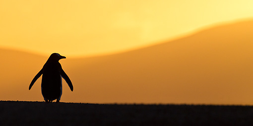 BRD 05 KH0175 01 © Kimball Stock Sihouette Of Gentoo Penguin At Sunset Falkland Islands