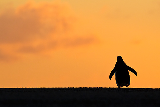 BRD 05 KH0176 01 © Kimball Stock Sihouette Of Gentoo Penguin At Sunset Falkland Islands
