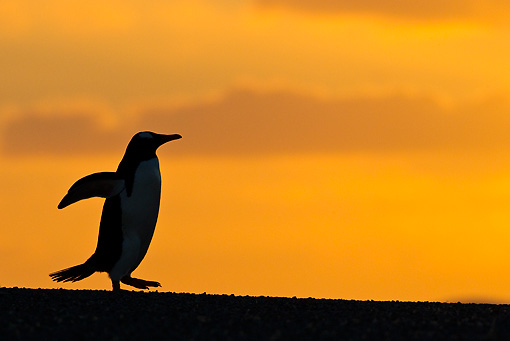 BRD 05 KH0177 01 © Kimball Stock Sihouette Of Gentoo Penguin At Sunset Falkland Islands