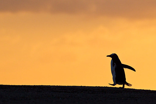 BRD 05 KH0178 01 © Kimball Stock Sihouette Of Gentoo Penguin At Sunset Falkland Islands