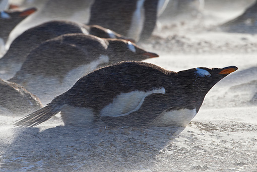 BRD 05 KH0179 01 © Kimball Stock Gentoo Penguins At Nest In Sand Storm Falklands