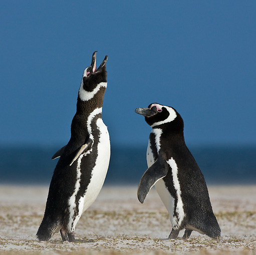 BRD 05 KH0182 01 © Kimball Stock Two Magellanic Penguins Standing On Beach Falklands