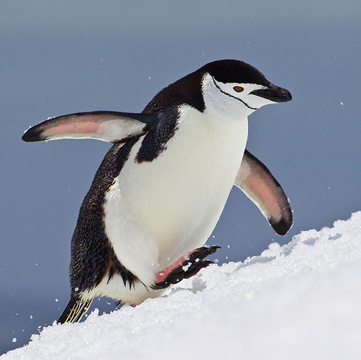 BRD 05 KH0183 01 © Kimball Stock Chinstrap Penguin Climbing Up Icy Hill Antarctica