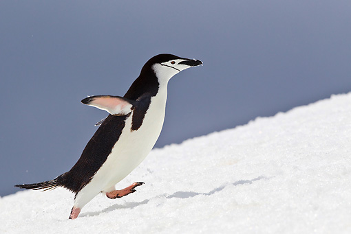 BRD 05 KH0185 01 © Kimball Stock Chinstrap Penguin Climbing Up Icy Hill Antarctica