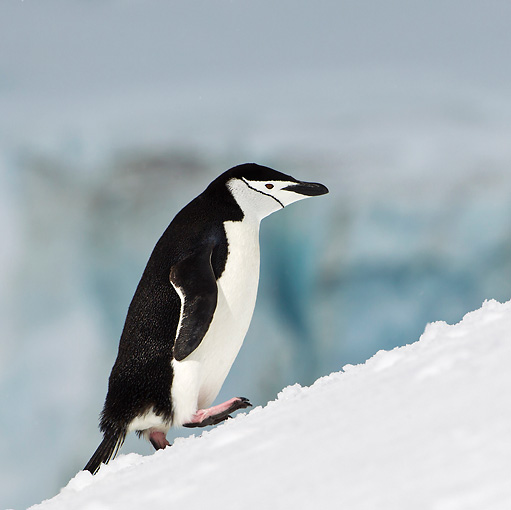 BRD 05 KH0186 01 © Kimball Stock Chinstrap Penguin Climbing Up Icy Hill Antarctica