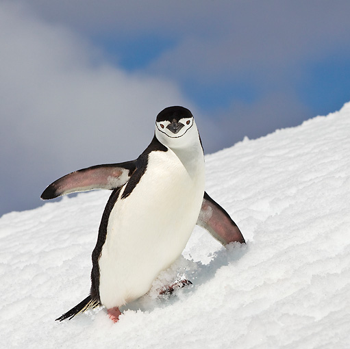 BRD 05 KH0187 01 © Kimball Stock Chinstrap Penguin Climbing Up Icy Hill Antarctica