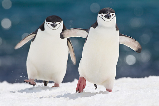 BRD 05 KH0189 01 © Kimball Stock Two Chinstrap Penguins Climbing Up Icy Hill Antarctica
