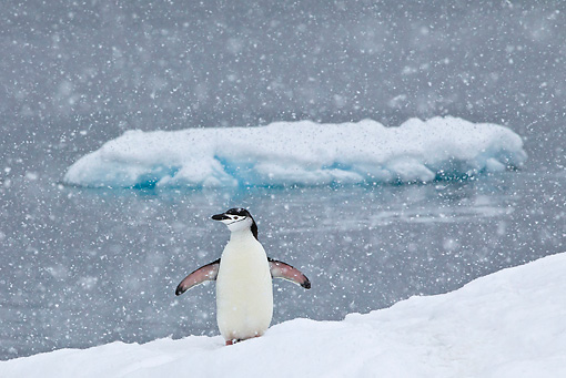 BRD 05 KH0191 01 © Kimball Stock Chinstrap Penguin Standing On Ice Under Falling Snow Antarctica
