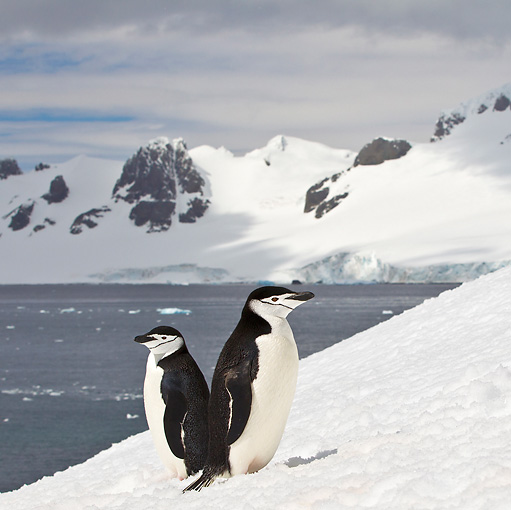 BRD 05 KH0193 01 © Kimball Stock Two Chinstrap Penguins Standing On Ice Antarctica