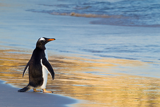 BRD 05 KH0208 01 © Kimball Stock Gentoo Penguin Standing At Edge Of Water During Sunset Falkland Islands
