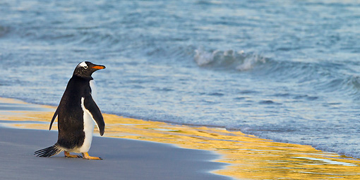 BRD 05 KH0209 01 © Kimball Stock Gentoo Penguin Standing At Edge Of Water During Sunset Falkland Islands