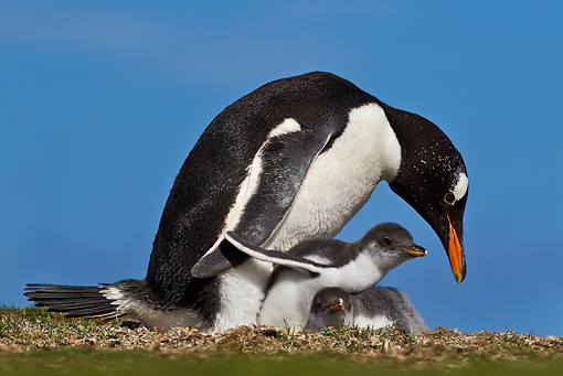 BRD 05 KH0212 01 © Kimball Stock Gentoo Penguin Sitting With Two Chicks In Nest Falkland Islands