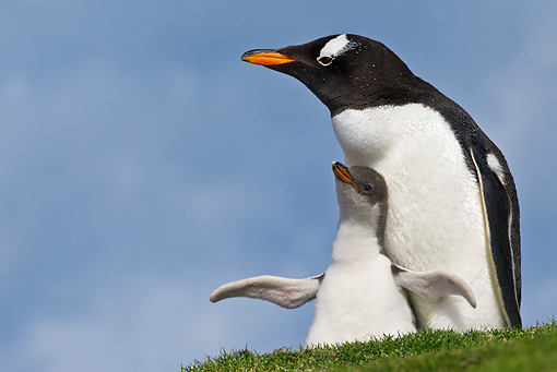 BRD 05 KH0214 01 © Kimball Stock Gentoo Penguin Sitting In Nest With Chick Falkland Islands