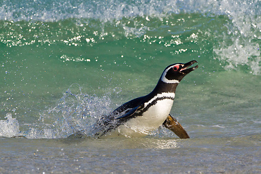 BRD 05 KH0216 01 © Kimball Stock Magellanic Penguin Emerging From Sea Falkland Islands