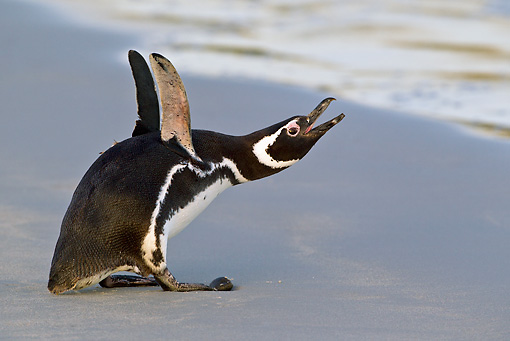 BRD 05 KH0218 01 © Kimball Stock Magellanic Penguin Braying On Beach Falkland Islands