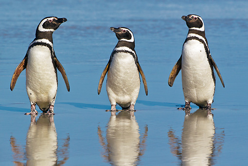 BRD 05 KH0220 01 © Kimball Stock Three Magellanic Penguins Standing On Beach By Reflections Falkland Islands