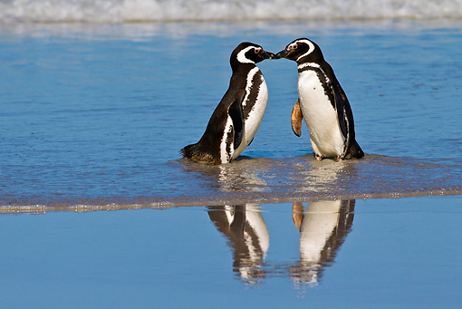 BRD 05 KH0223 01 © Kimball Stock Two Magellanic Penguins Kissing On Beach Falkland Islands