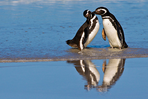 BRD 05 KH0224 01 © Kimball Stock Two Magellanic Penguins Nuzzling On Beach Falkland Islands