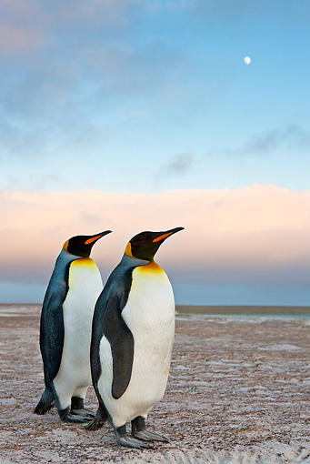 BRD 05 KH0227 01 © Kimball Stock Two King Penguins Standing On Dunes At Dusk Falkland Islands