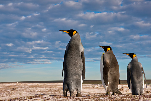BRD 05 KH0228 01 © Kimball Stock Back View Of Three King Penguins Standing On Dunes Falkland Islands