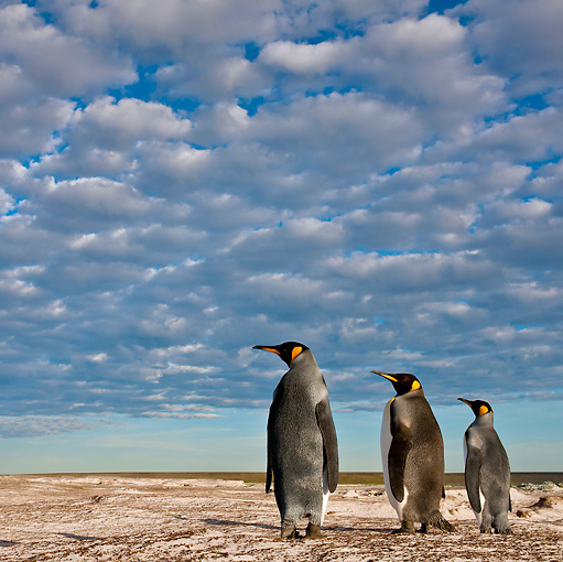 BRD 05 KH0229 01 © Kimball Stock Back View Of Three King Penguins Standing On Dunes Falkland Islands