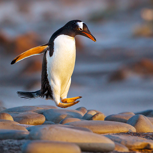 BRD 05 KH0233 01 © Kimball Stock Gentoo Penguin Hopping Over Large Pebbles At Sunset, Falkland Islands