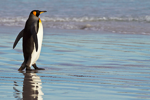 BRD 05 KH0236 01 © Kimball Stock King Penguin Walking On Beach At Dawn Falkland Islands