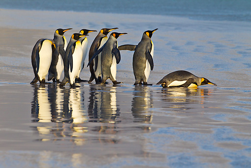 BRD 05 KH0240 01 © Kimball Stock Group Of King Penguins Watching For Predators Before Entering Sea Falkland Islands