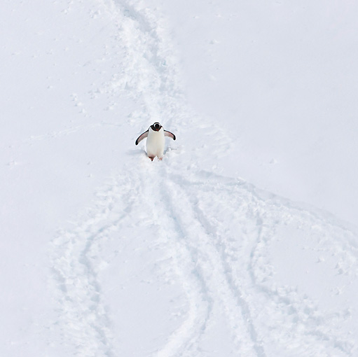 BRD 05 KH0244 01 © Kimball Stock Overhead View Of Gentoo Penguin Walking Through Snow Antarctica