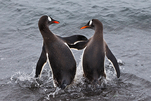 BRD 05 KH0245 01 © Kimball Stock Two Gentoo Penguins Squabbling While Entering Sea Antarctica