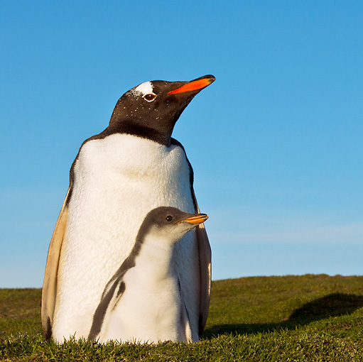 BRD 05 KH0250 01 © Kimball Stock Gentoo Penguin And Chick Sitting In Nest Falkland Islands