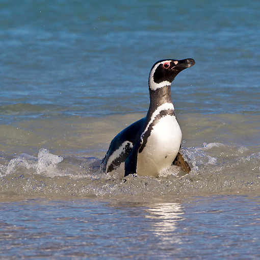 BRD 05 KH0259 01 © Kimball Stock Magellanic Penguin Emerging From Water After Fishing In Falkland Islands