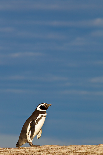 BRD 05 KH0260 01 © Kimball Stock Magellanic Penguin Walking On Sand Dunes In Falkland Islands