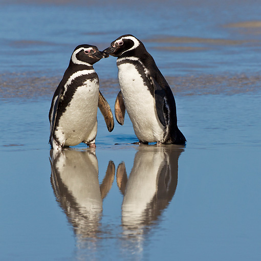 BRD 05 KH0264 01 © Kimball Stock Two Magellanic Penguins Kissing On Beach In Falkland Islands