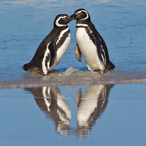 BRD 05 KH0265 01 © Kimball Stock Two Magellanic Penguins Kissing On Beach In Falkland Islands