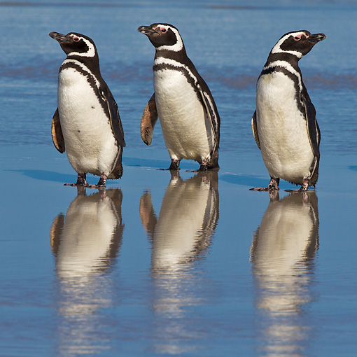 BRD 05 KH0266 01 © Kimball Stock Three Magellanic Penguins Standing On Beach In Falkland Islands