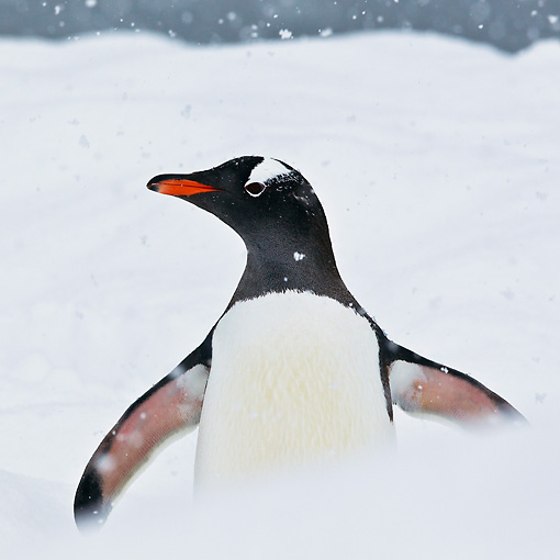 BRD 05 KH0269 01 © Kimball Stock Close-Up Of Gentoo Penguin Standing In Falling Snow Antarctica