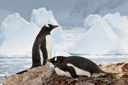 BRD 05 KH0270 01 © Kimball Stock Gentoo Penguins Brooding On Nest Of Rocks With Icebergs In Background Antarctica