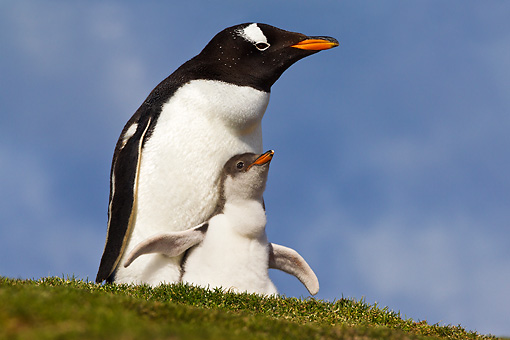 BRD 05 KH0275 01 © Kimball Stock Gentoo Penguin And Chick Sitting In Nest Antarctica