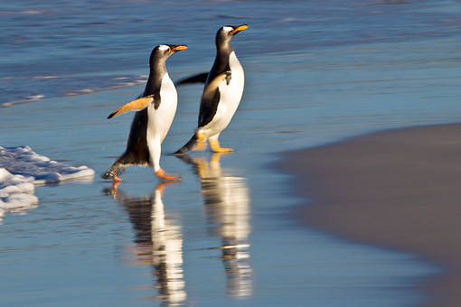 BRD 05 KH0277 01 © Kimball Stock Two Gentoo Penguins Walking On Beach In Falkland Islands