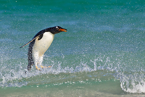 BRD 05 KH0281 01 © Kimball Stock Gentoo Penguin Surfing Wave In Falkland Islands