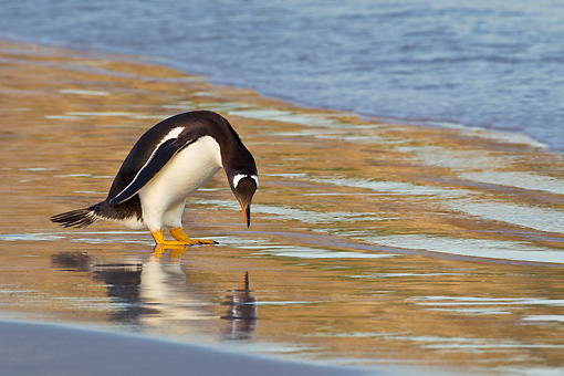BRD 05 KH0284 01 © Kimball Stock Gentoo Penguin Looking At Reflection On Beach In Falkland Islands